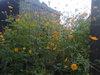 Yellowkosumosu